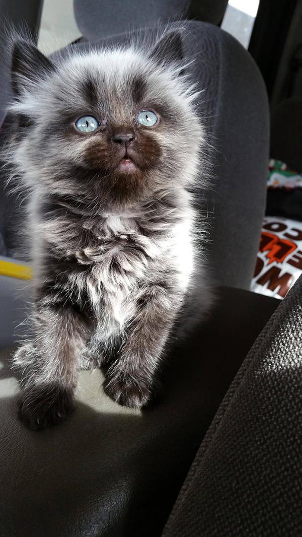 綿菓子フワフワ!モフモフしたくなる長毛種の猫画像 (14)