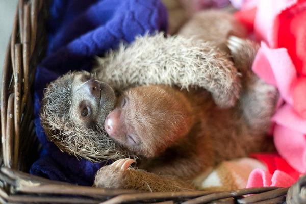 癒し系動物ナマケモノの赤ちゃんが超かわいい画像 (7)