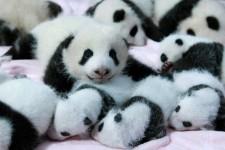 かわいいジャイアントパンダ画像!成都大熊猫繁殖研究基地