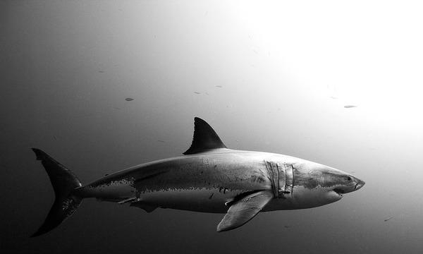 サメの海中写真 Jorge Cervera Hauser