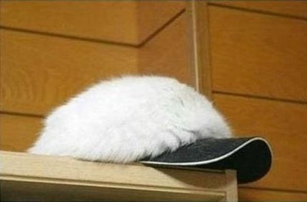 擬態する猫