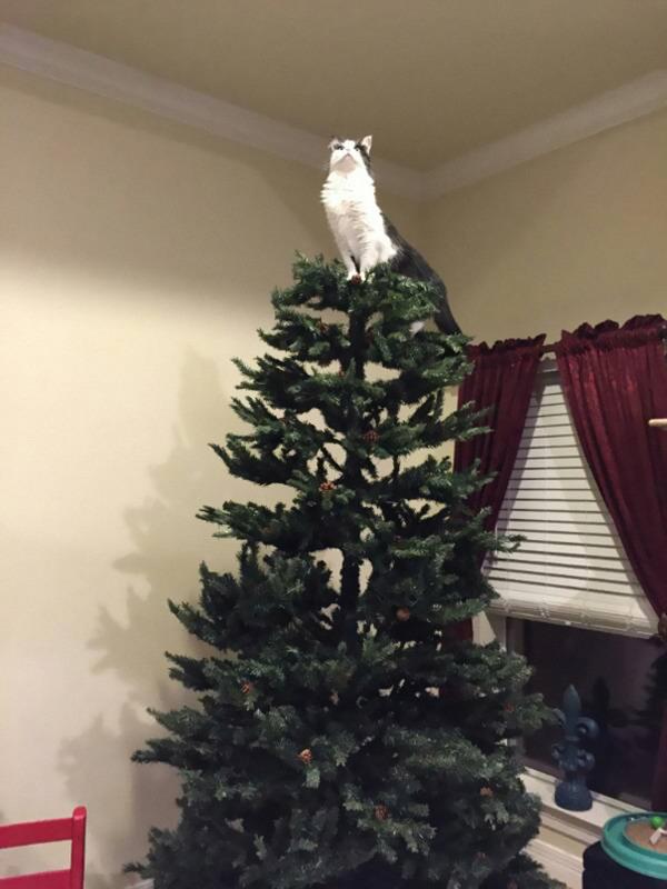 猫、あらぶる!クリスマスツリーに登る猫画像 (15)