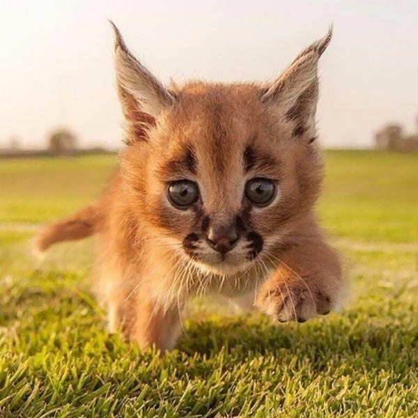 カラカルの画像!麻呂眉と耳の房毛が特徴的なネコ科動物 (27)