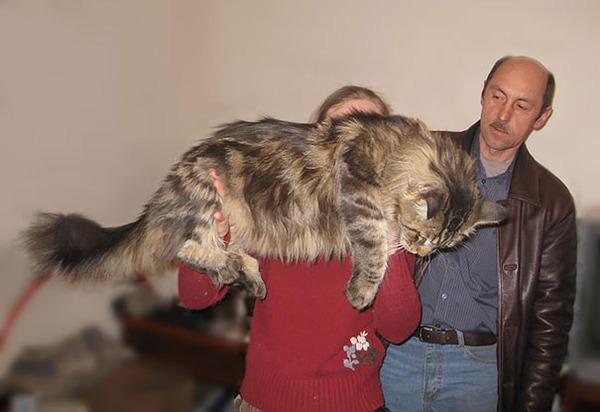 でかすぎる!大型のイエネコ長毛種メインクーン画像【猫】 (41)