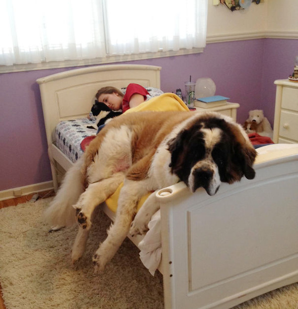 ベッドで寝る犬 かわいいおもしろ画像 5