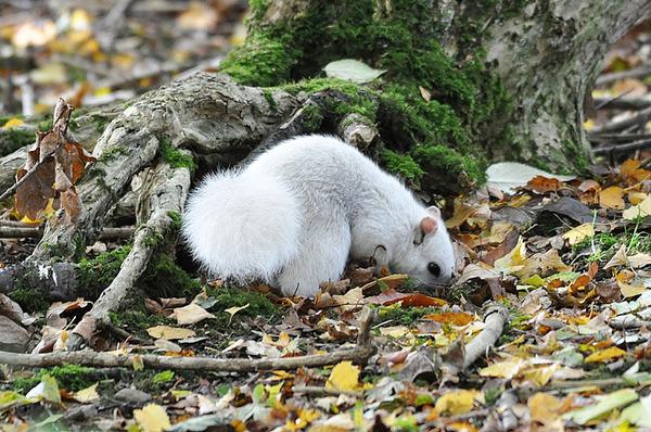 イギリスで真っ白いリスが激写される!アルビノではない白いリス (5)