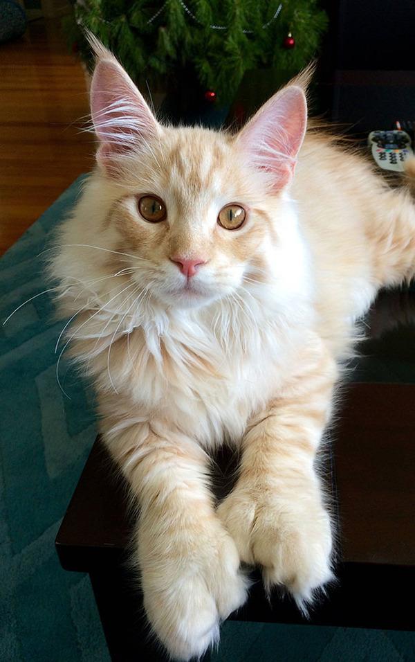 でかすぎる!大型のイエネコ長毛種メインクーン画像【猫】 (46)