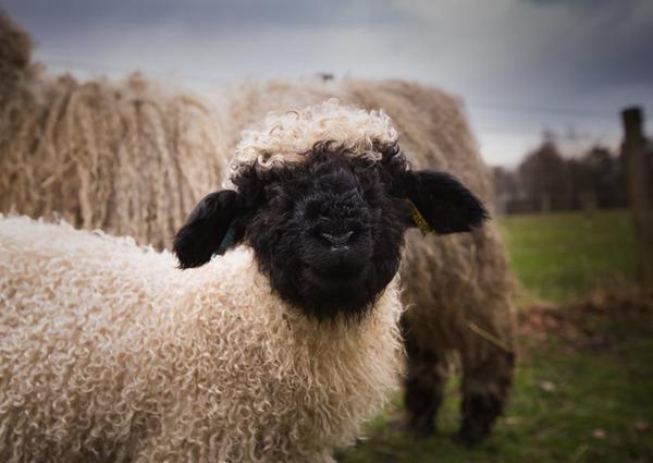 ヴァレーブラックノーズシープ!モフモフな羊 (7)
