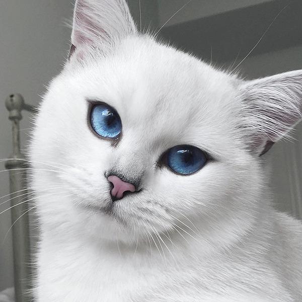 美しい…。綺麗な青い瞳をした白猫が話題!【猫画像】 (6)