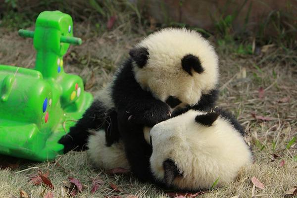 かわいいジャイアントパンダの画像 13