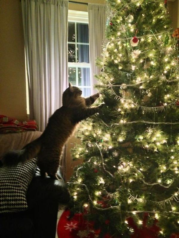 猫、あらぶる!クリスマスツリーに登る猫画像 (44)