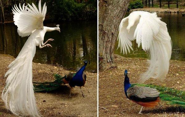 孔雀が飛ぶ姿が神々しすぎる…!空飛ぶクジャクの画像 (3)