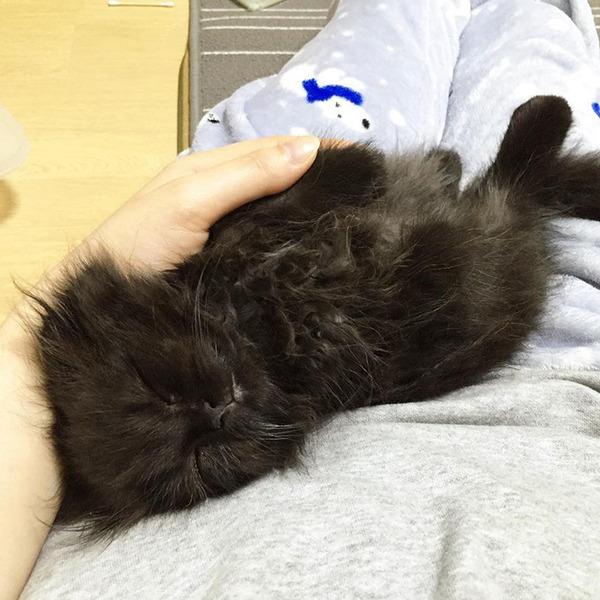 「まっくろくろすけ」みたいな黒猫画像!黒いモフモフ (5)