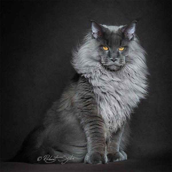 メインクーン画像!気品ある毛並みに威厳ある風貌の猫 (15)
