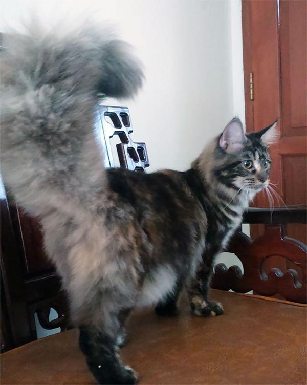 でかすぎる!大型のイエネコ長毛種メインクーン画像【猫】 (25)