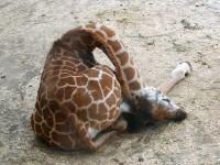 長い首を曲げて眠るキリンの寝方!キリンのお昼寝方法