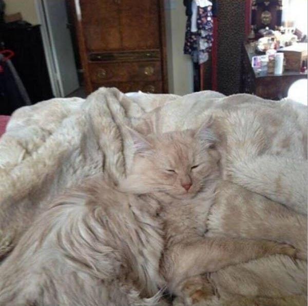 毛布と一体化する猫