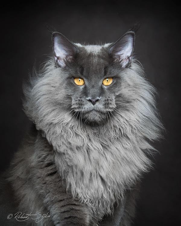 メインクーン画像!気品ある毛並みに威厳ある風貌の猫 (12)