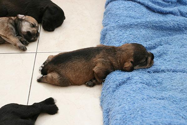 どこででも居眠りしちゃう子犬の可愛い画像 22