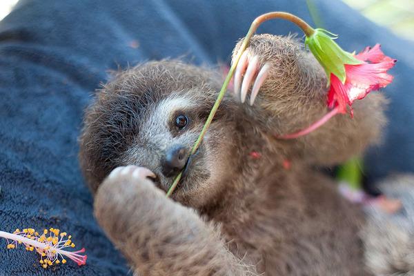 癒し系動物ナマケモノの赤ちゃんが超かわいい画像 (4)