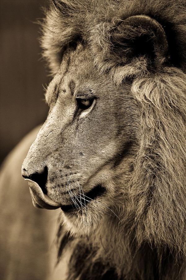 大型ネコ科!ライオン、ヒョウ、トラの美しいセピア写真 (8)