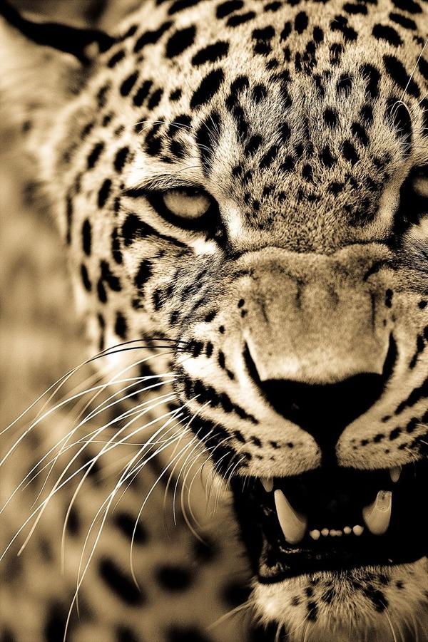 大型ネコ科!ライオン、ヒョウ、トラの美しいセピア写真 (7)