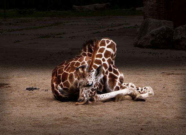 キリンの寝方、キリンの睡眠モード姿勢 2