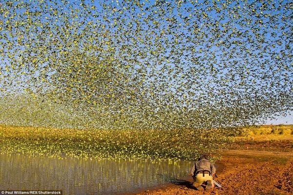8万羽のセキセイインコの群れをオーストラリアの内陸で観測! (8)