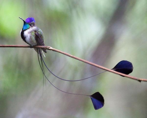 ハチドリ、可愛い、美しい小鳥の写真 (6)