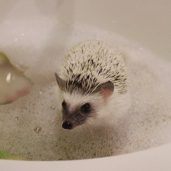 お風呂に入るハリネズミ