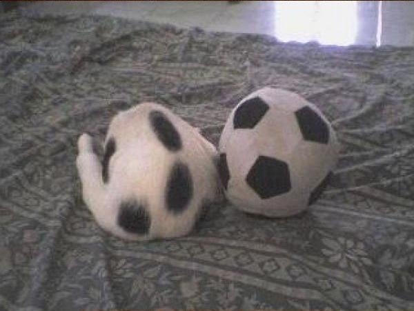サッカーボールみたいな猫