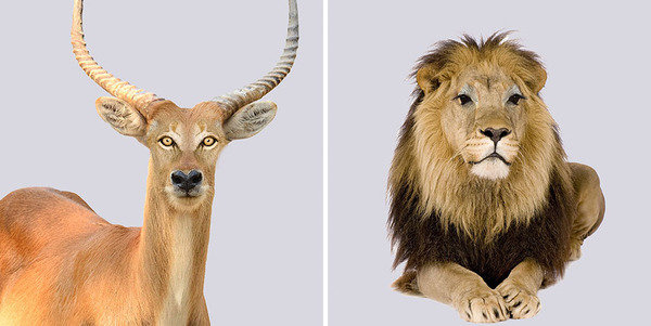 捕食者と獲物の目を交換してみた野生動物のユニークな画像 (1)