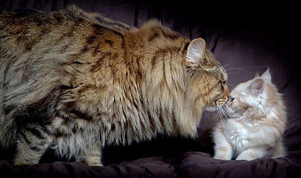 でかすぎる!大型のイエネコ長毛種メインクーン画像【猫】 (7)