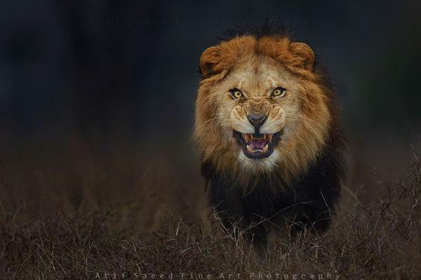 鬼のような形相でこっちへ向かってきたライオン