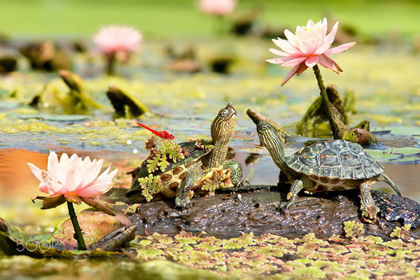 のんびり生きる亀可愛い!小さなカメから大きいカメまで亀画像 (11)
