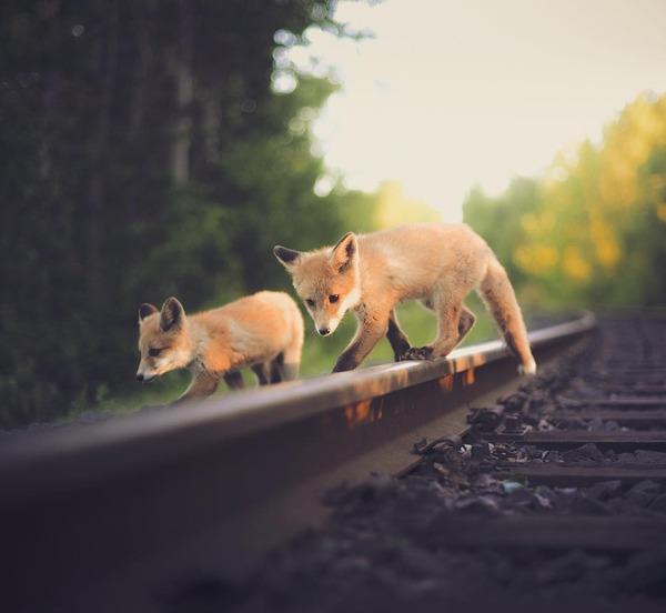 キツネやリスと戯れようぜ!フィンランドの胸キュン野生動物 (7)