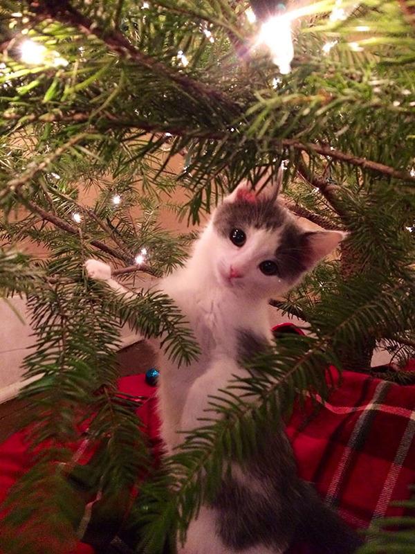猫、あらぶる!クリスマスツリーに登る猫画像 (19)