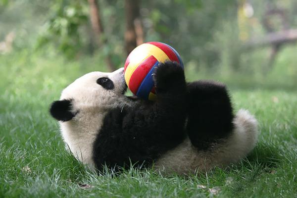 かわいいジャイアントパンダの画像 6