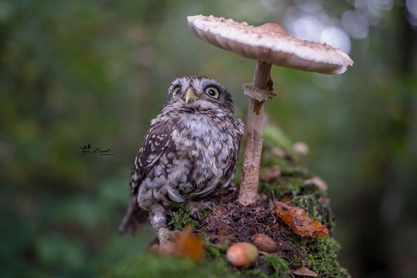 ファンタジック!森のキノコで雨宿りするフクロウの画像ほか (6)