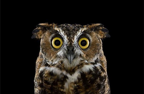 フクロウの肖像写真、スタジオポートレート