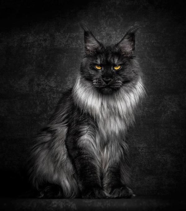 メインクーン画像!気品ある毛並みに威厳ある風貌の猫 (20)