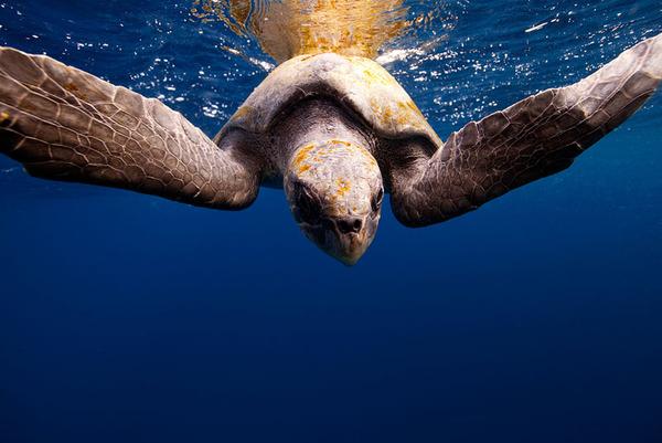 カメの海中写真 Jorge Cervera Hauser