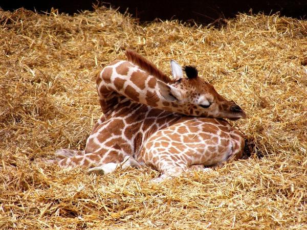キリンの寝方、キリンの睡眠モード姿勢 7