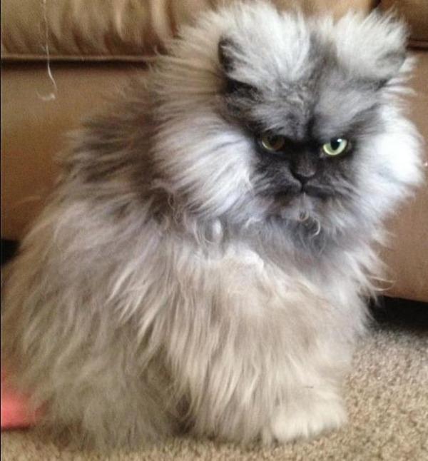 綿菓子フワフワ!モフモフしたくなる長毛種の猫画像 (55)