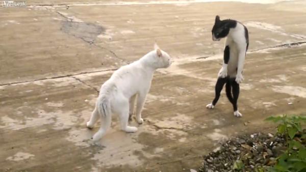 二足歩行の猫
