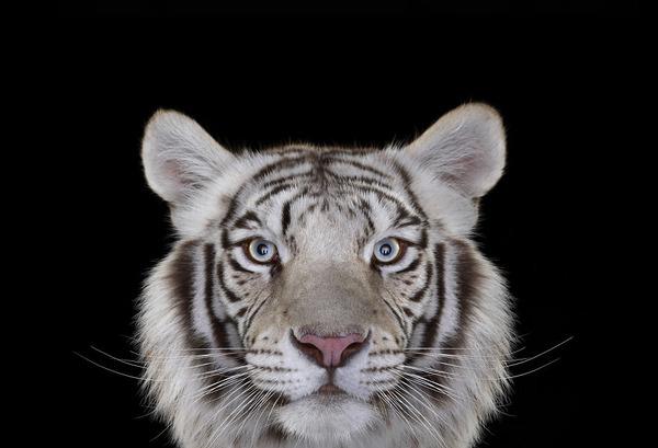 ホワイトタイガーの肖像写真、スタジオポートレート