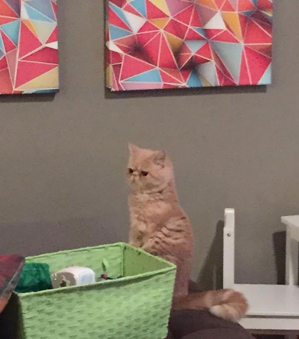 二足で直立する猫 4