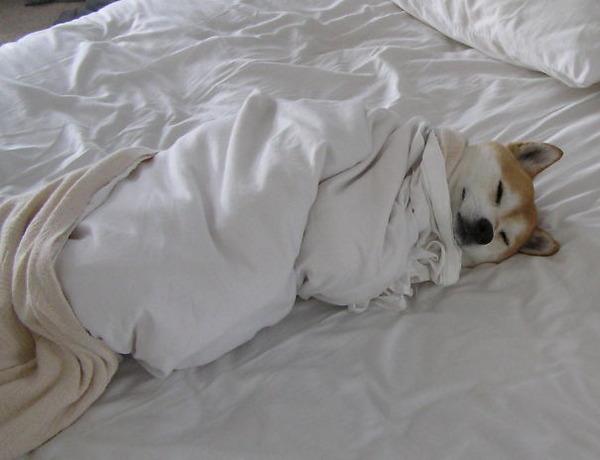 ベッドで寝る犬 かわいいおもしろ画像 8