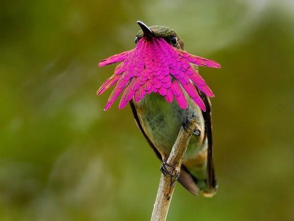 ハチドリ、可愛い、美しい小鳥の写真 (2)