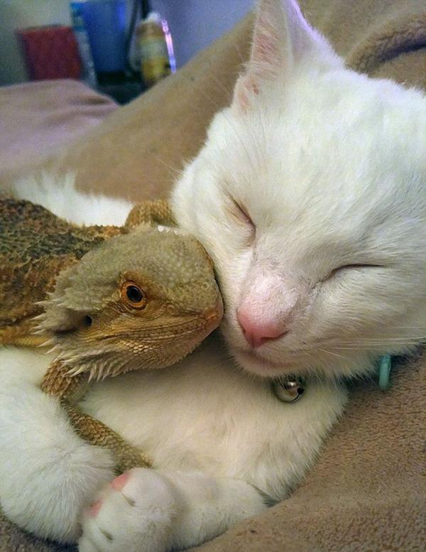 超仲良しなんだぜ!2匹は友達。ネコとフトアゴヒゲトカゲ (3)